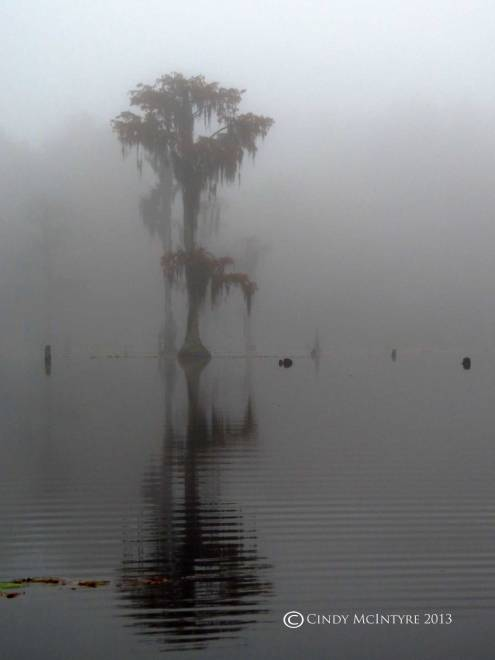 Cypress-in-fog,-Banks-Lake-NWR,-GA-(34)-copy