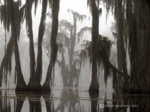 Cypress-in-fog,-Banks-Lake-NWR,-GA-(47)-copy