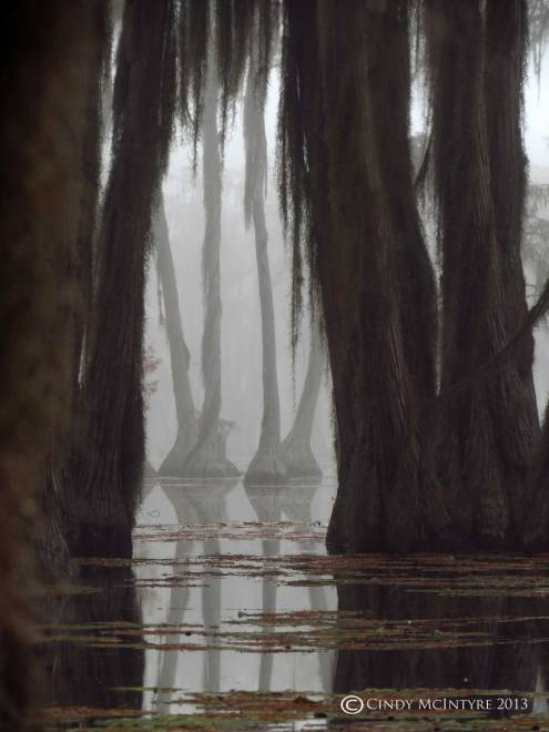 Cypress-in-fog,-Banks-Lake-NWR,-GA-(60)-copy