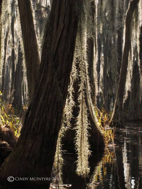 Spanish-Moss-and-cypress,-Banks-Lake-NWR-GA-(1)-copy