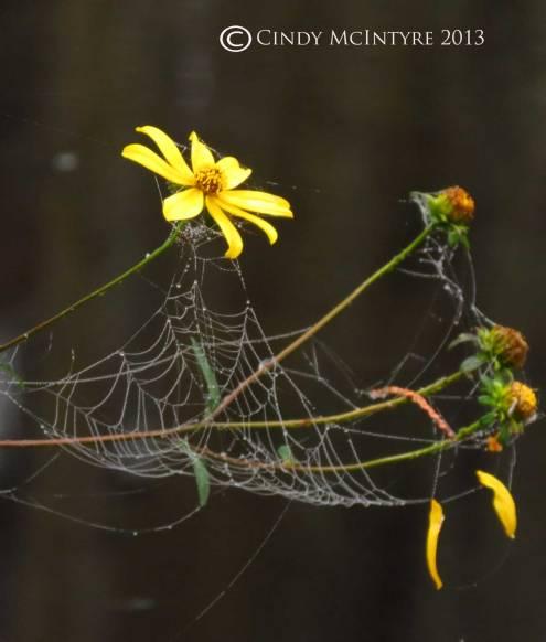 Spider-web,-tickseed-sunflower,-Banks-Lake-NWR-GA-(1)-copy