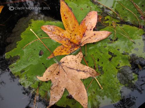 Sweet gum leaves on water lily