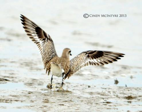 Black-bellied plover landing