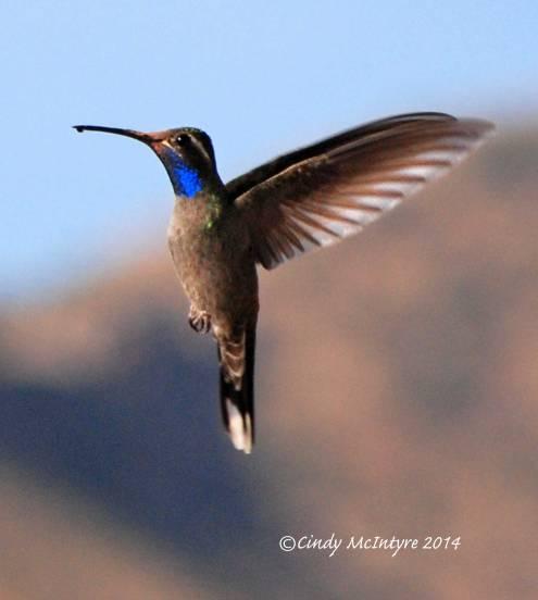Blue-throated Hummingbird male, Big Bend NP, Texas
