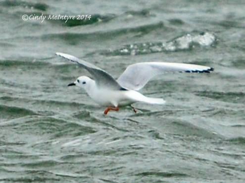 Bonaparte's gull juvenile