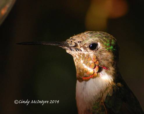 Calliope Hummingbird male detail