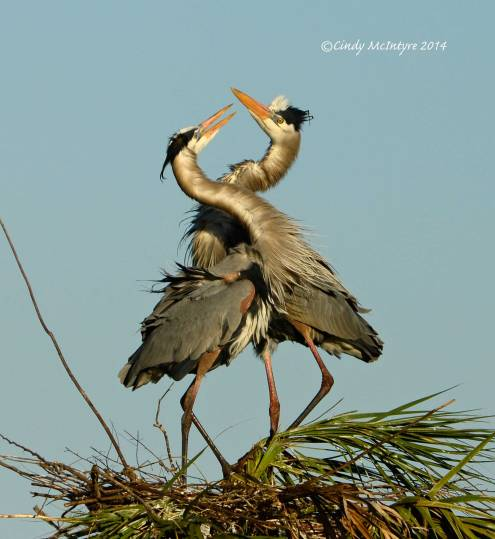 Great Blue Herons in Love