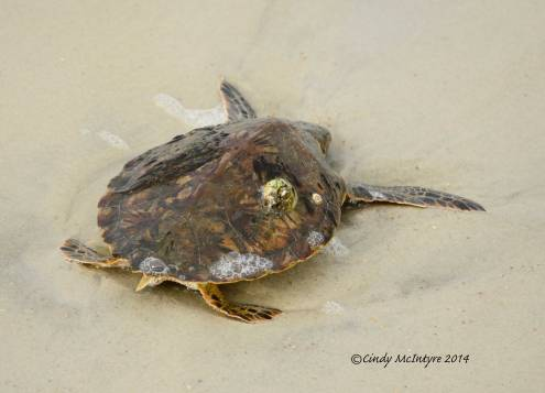 Green sea turtle needs help