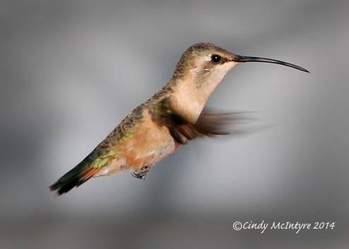 Lucifer Hummingbird female, Big Bend National Park, Texas