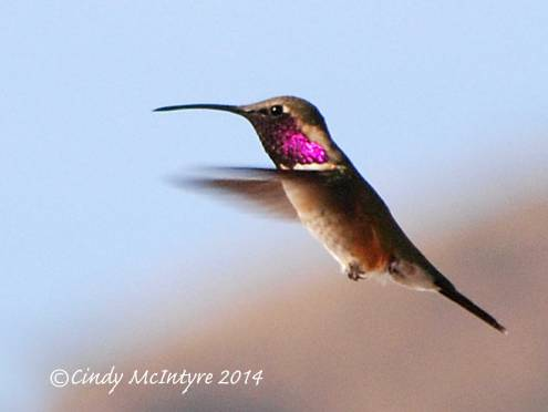 Lucifer Hummingbird male, Big Bend National Park, Texas
