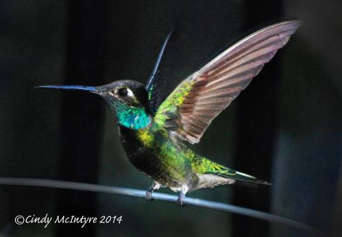 Magnificent Hummingbird male