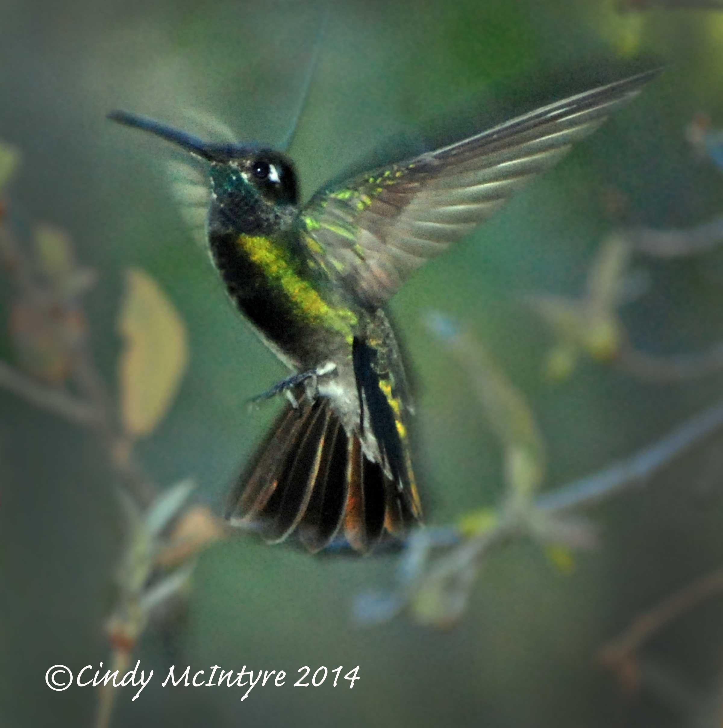 Magnificent Hummingbird male