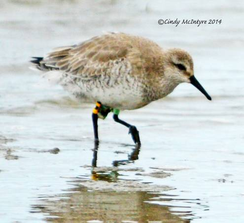 Red Knot with bands