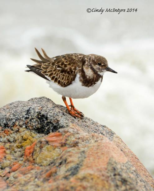 Ruddy-Turnstone,-winter-plmg,-FL-(8)-copy