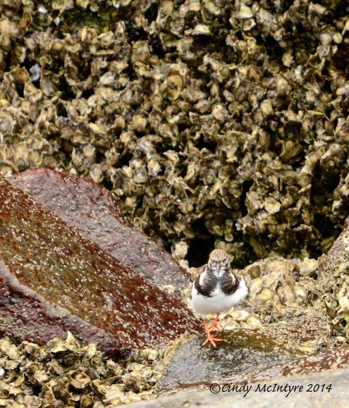 Ruddy-turnstones-in-rocks,-winter,-FL-(4)-copy