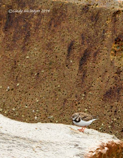 Ruddy-turnstones-in-rocks,-winter,-FL-(6)-copy