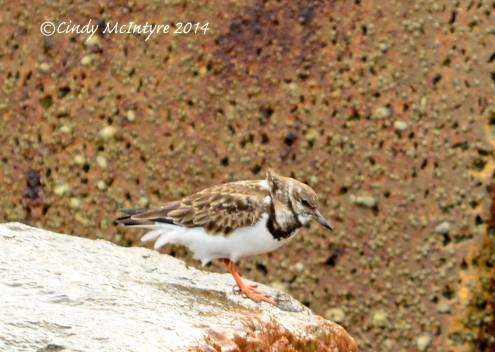 Ruddy-turnstones-in-rocks,-winter,-FL-(7)-copy