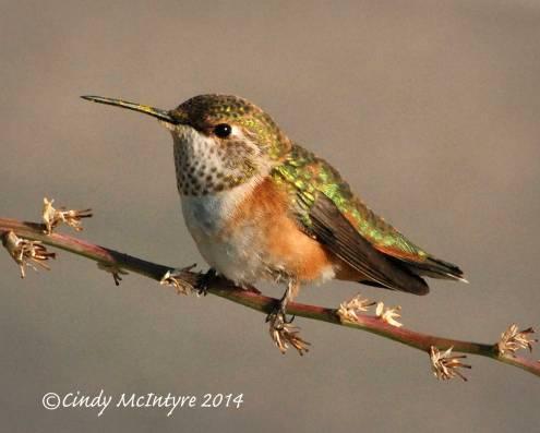 Rufous Hummingbird, immature female