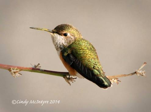 Rufous-Hummingbird-immature-female,-NM-(17)-copy