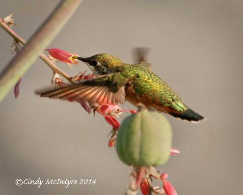 Rufous-Hummingbird-immature-female,-NM-(20)-copy