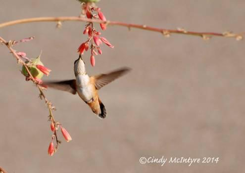 Rufous-Hummingbird-immature-female,-NM-(22)-copy