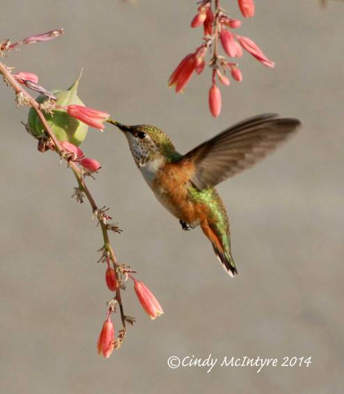 Rufous-Hummingbird-immature-female,-NM-(24)-copy-2