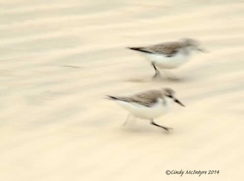 Skittering Sanderlings