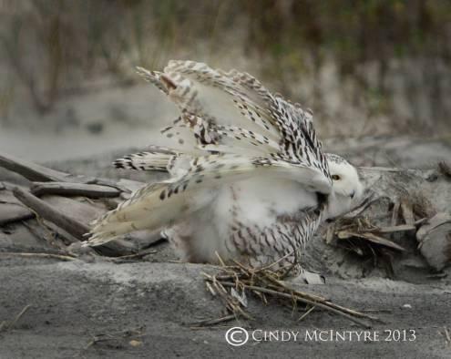 Snowy Owl by Cindy McIntyre (10)