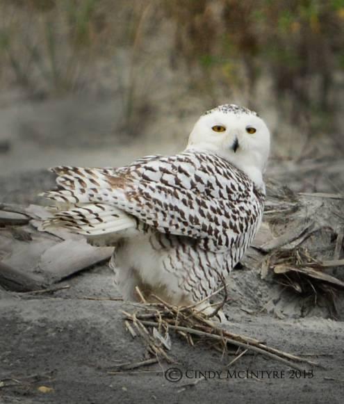Snowy Owl by Cindy McIntyre (11)