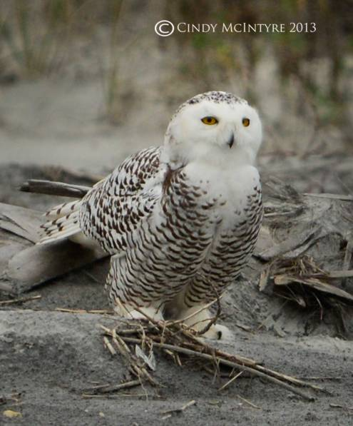 Immature female snowy owl