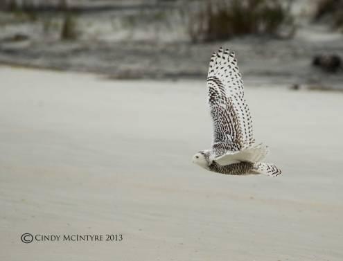 Snowy Owl by Cindy McIntyre (18)