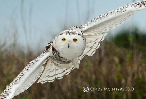 Snowy Owl, immature female, on a northern Florida beach