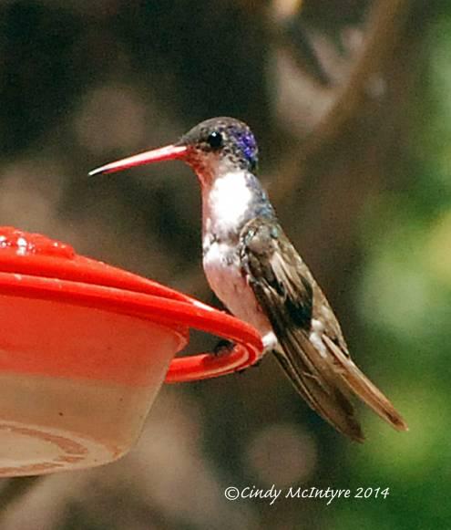 Violet-crowned Hummingbird female