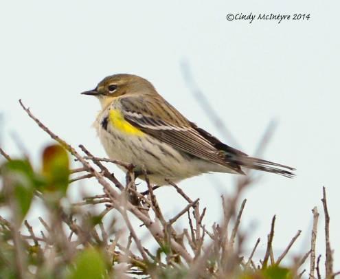 Yellow-rumped warbler (butterbutt)