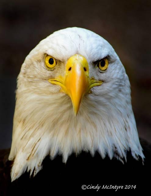 Bald Eagle - Angry Bird?