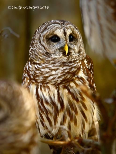 Barred-Owls,-Homosassa-Springs-SP-Fl-(10)-copy-2