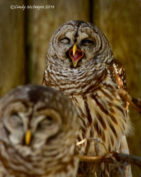 Barred-Owls,-Homosassa-Springs-SP-Fl-(23)-copy-2