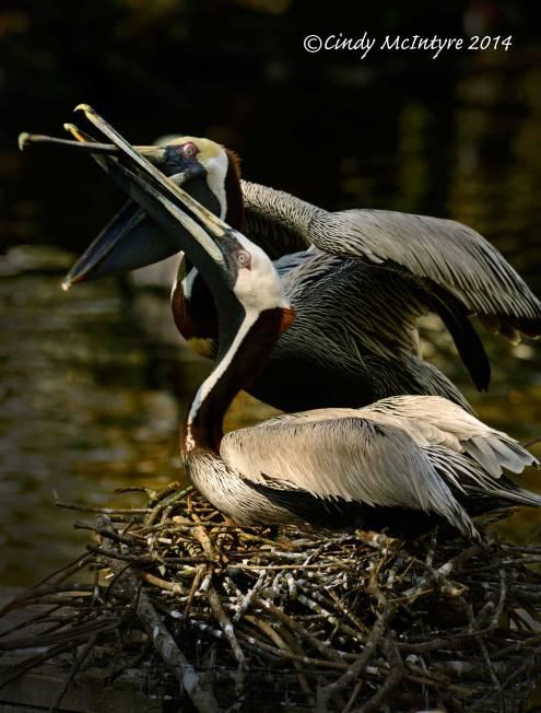 Brown-pelicans-nesting,-Homosassa-Springs-SP-FL-(12)-copy-2