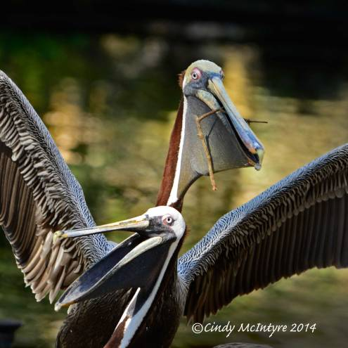 Brown pelicans nesting