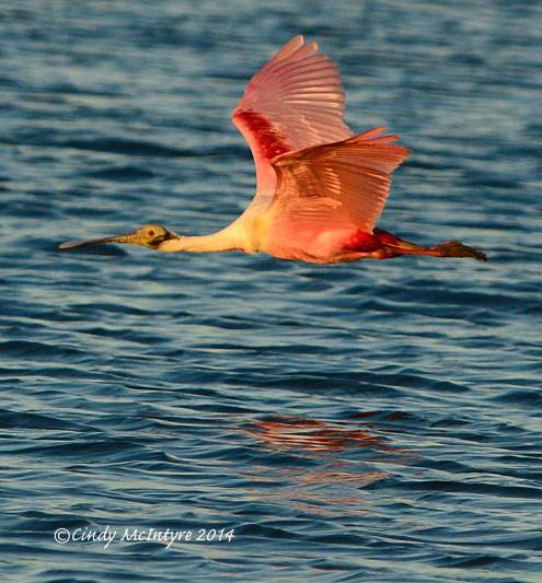 Roseate Spoonbill at sunset