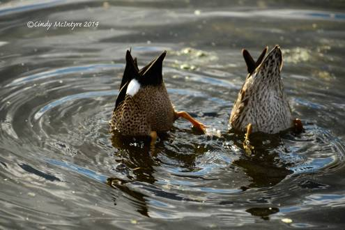 Bottoms Up - Blue-winged teals feeding