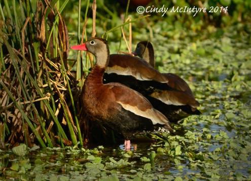 Black-bellied Whistling Ducks, Wakodahatchee Wetlands, Boynton Beach, FL