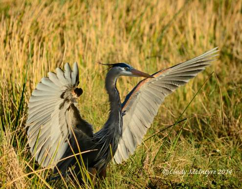 Great Blue Heron, Viera Wetlands