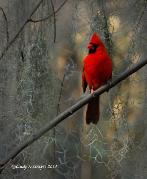 Male cardinal in Spanish Moss