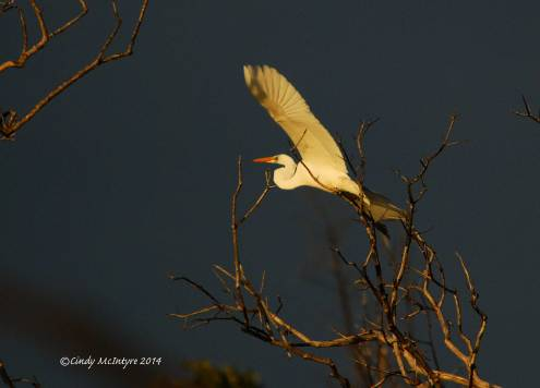 Great Egret, Last Light