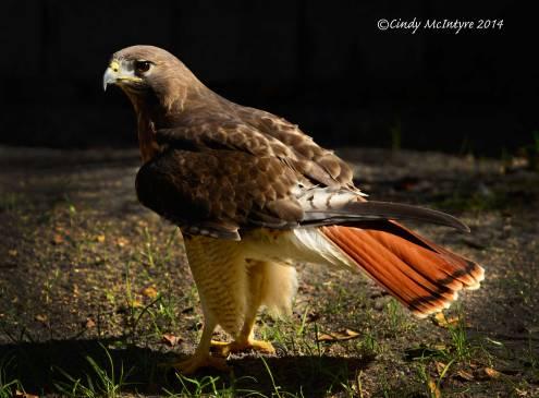 Red-tailed-hawk,-Homosassa-Springs-SP-FL-(4)-copy-2
