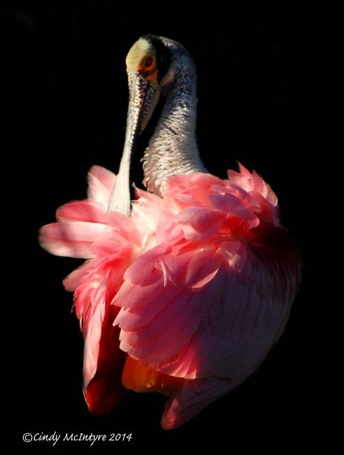 Roseate-Spoonbill-on-tree,-FL-(2)-copy-2