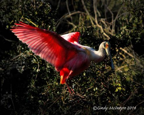 Roseate-Spoonbill-on-tree,-FL-(22)-copy-2