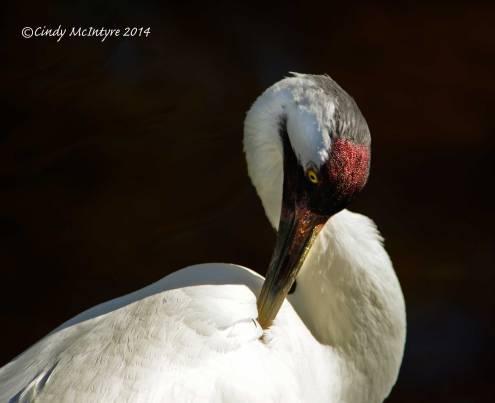 Whooping-Crane,-Homosassa-Springs-SP-FL-(12)-copy-2