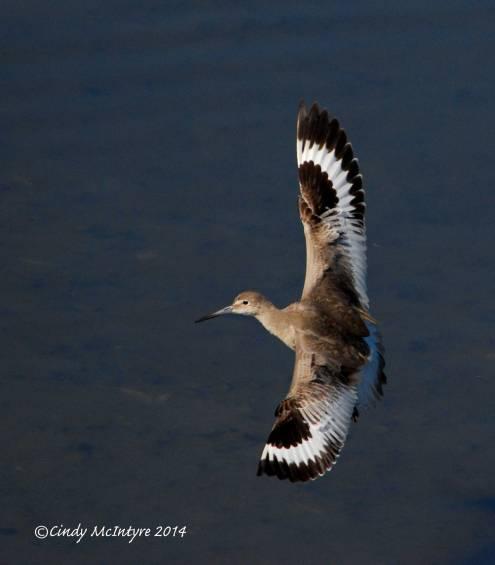 Willet landing